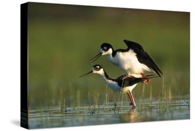 Black-necked Stilt couple mating, North America-Tim Fitzharris-Stretched Canvas Print