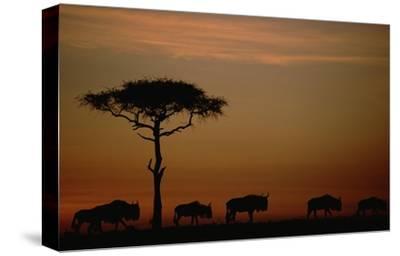 Blue Wildebeest herd migrating at sunset, Kenya-Tim Fitzharris-Stretched Canvas Print