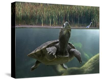 Turtle breathing at surface, Jurong Bird Park, Singapore-Tim Fitzharris-Stretched Canvas Print