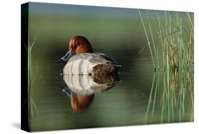 Redhead Duck male with reflection near reeds, Washington-Tim Fitzharris-Stretched Canvas Print