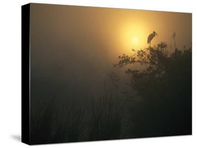 Wood Stork perched in tree, Everglades National Park, Florida-Tim Fitzharris-Stretched Canvas Print
