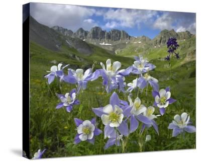 Colorado Blue Columbine meadow at American Basin, Colorado-Tim Fitzharris-Stretched Canvas Print