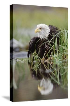 Bald Eagle with reflection at the edge of a lake, North America-Tim Fitzharris-Stretched Canvas Print