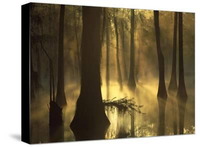 Bald Cypress grove in freshwater swamp at dawn, Lake Fausse Pointe, Louisiana-Tim Fitzharris-Stretched Canvas Print