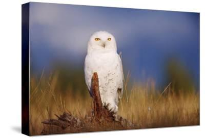 Snowy Owl adult perching on a low stump in a field of green grass, British Columbia, Canada-Tim Fitzharris-Stretched Canvas Print