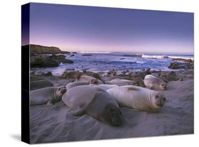 Northern Elephant Seal juveniles laying on the beach, Point Piedras Blancas, Big Sur, California-Tim Fitzharris-Stretched Canvas Print