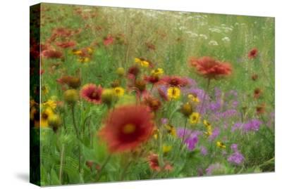 Gaillardia, coreopsis and pointed phlox, blowing in the wind, Texas-Tim Fitzharris-Stretched Canvas Print
