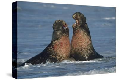Northern Elephant Seal males fighting, California-Tim Fitzharris-Stretched Canvas Print