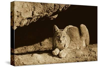 Bobcat adult resting on rock ledge, North America - Sepia-Tim Fitzharris-Stretched Canvas Print