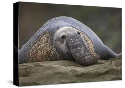 Northern Elephant Seal bull, showing proboscis, California-Tim Fitzharris-Stretched Canvas Print