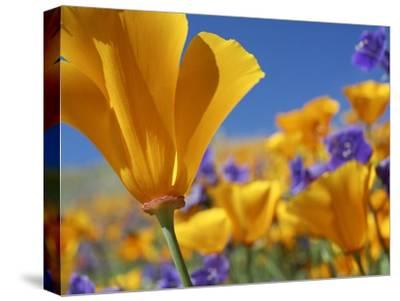 California Poppy flowers, Antelope Valley, California-Tim Fitzharris-Stretched Canvas Print