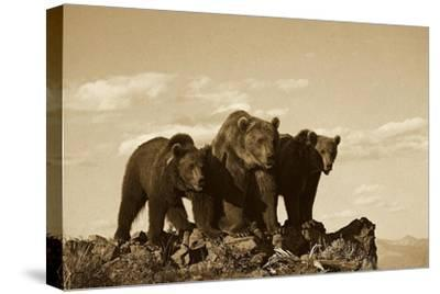 Grizzly Bear with two one-year-old cubs, North America - Sepia-Tim Fitzharris-Stretched Canvas Print