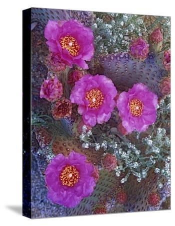 Beavertail Cactus flowering, North America-Tim Fitzharris-Stretched Canvas Print