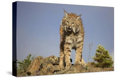 Bobcat , North America-Tim Fitzharris-Stretched Canvas Print