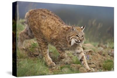 Bobcat stalking, North America-Tim Fitzharris-Stretched Canvas Print