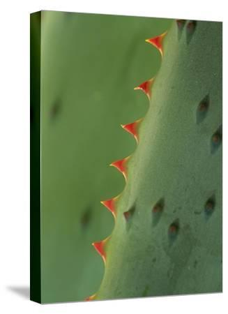 Cape Aloe spines-Tim Fitzharris-Stretched Canvas Print