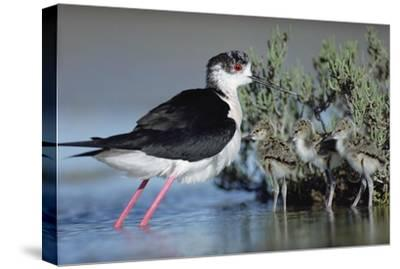 Black-winged Stilt mother with three chicks, Camargue, France-Tim Fitzharris-Stretched Canvas Print
