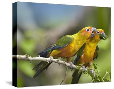 Sun Parakeet pair feeding on leaves, native to South America-Tim Fitzharris-Stretched Canvas Print
