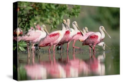 Roseate Spoonbill flock wading in pond, Texas coast near Galveston-Tim Fitzharris-Stretched Canvas Print