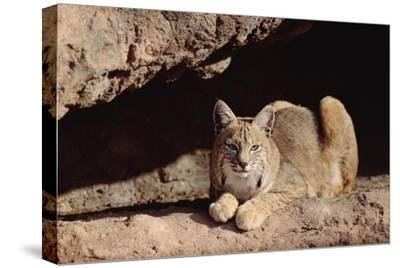 Bobcat adult resting on rock ledge, North America-Tim Fitzharris-Stretched Canvas Print