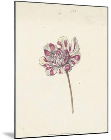 Red and White Flower, c. 1600-1699-Anna Cornelia Moda-Mounted Art Print