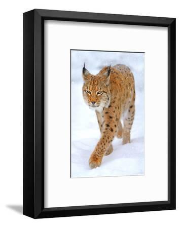 Beautiful Wild Lynx In Winter--Framed Art Print