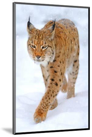 Beautiful Wild Lynx In Winter--Mounted Art Print