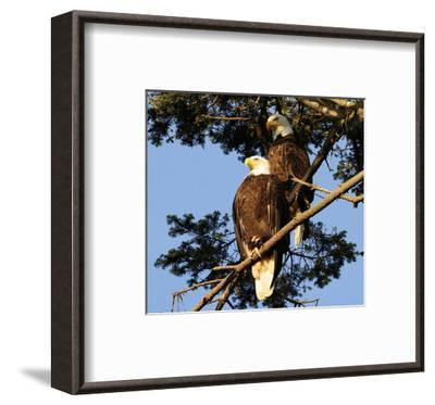 A Pair of perching Bald Eagles--Framed Art Print