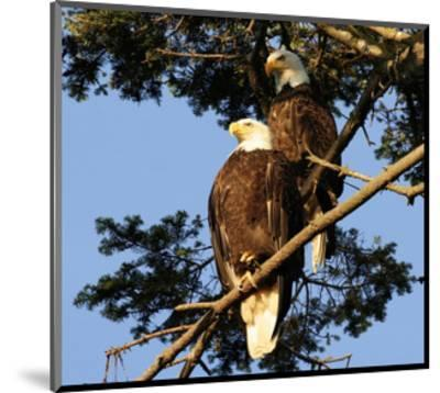 A Pair of perching Bald Eagles--Mounted Art Print