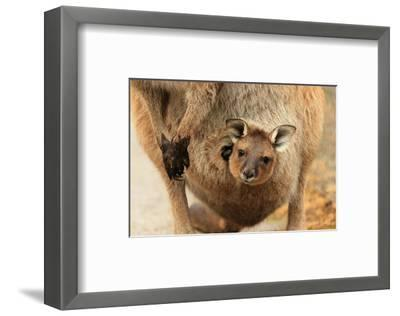 Baby Kangaroo-Joey-in Pouch--Framed Art Print