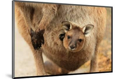 Baby Kangaroo-Joey-in Pouch--Mounted Art Print