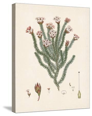 Erica Obata-The Vintage Collection-Stretched Canvas Print
