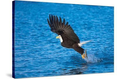 Bald Eagle Fish Talons Alaska--Stretched Canvas Print