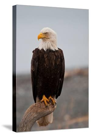 Bald Eagle Resting On A Perch--Stretched Canvas Print