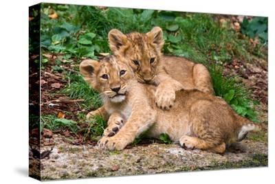 Couple of Lion Cubs--Stretched Canvas Print