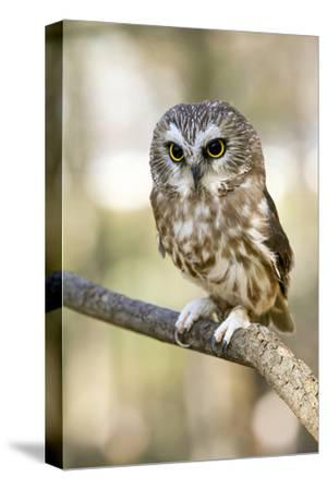 Northern Saw Whet Owl--Stretched Canvas Print