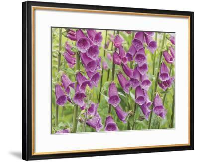 Foxglove-Don Paulson-Framed Giclee Print