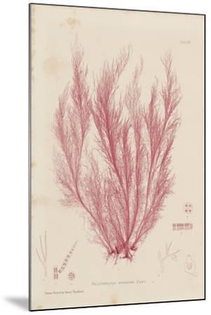 Polysiphonia-Henry Bradbury-Mounted Giclee Print