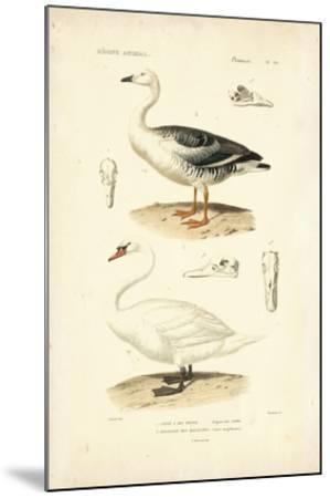 Antique Swan Study-N^ Remond-Mounted Giclee Print