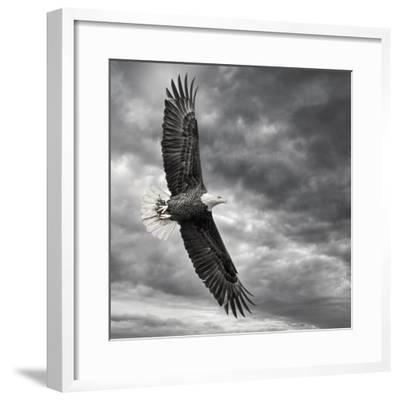 Eagle in Flight-PHBurchett-Framed Art Print