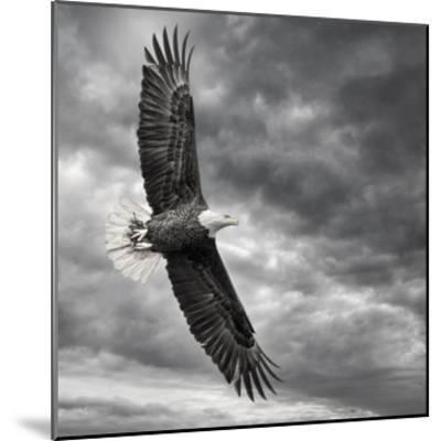 Eagle in Flight-PHBurchett-Mounted Art Print