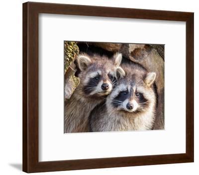 Adult Raccoon Nest Closeup--Framed Art Print