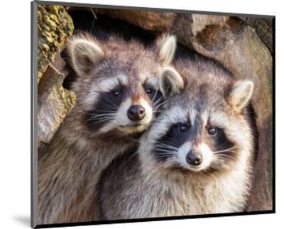Adult Raccoon Nest Closeup--Mounted Art Print