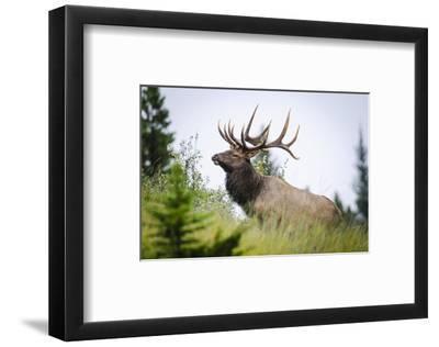 Antlered Bull Elk Banff Alberta--Framed Art Print
