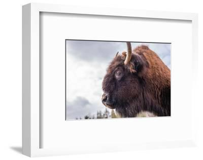 Bison Head With Cloudy Sky--Framed Art Print