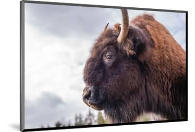 Bison Head With Cloudy Sky--Mounted Art Print