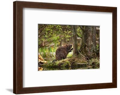 Beaver Closeup in the Forest--Framed Art Print