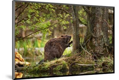 Beaver Closeup in the Forest--Mounted Art Print