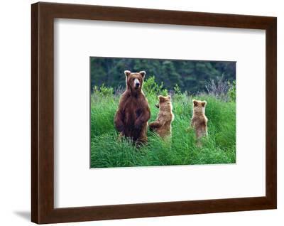 Grizly Bears at Katmai Alaska--Framed Art Print