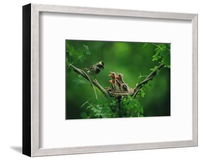Nesting Baby Birds and Mother--Framed Art Print